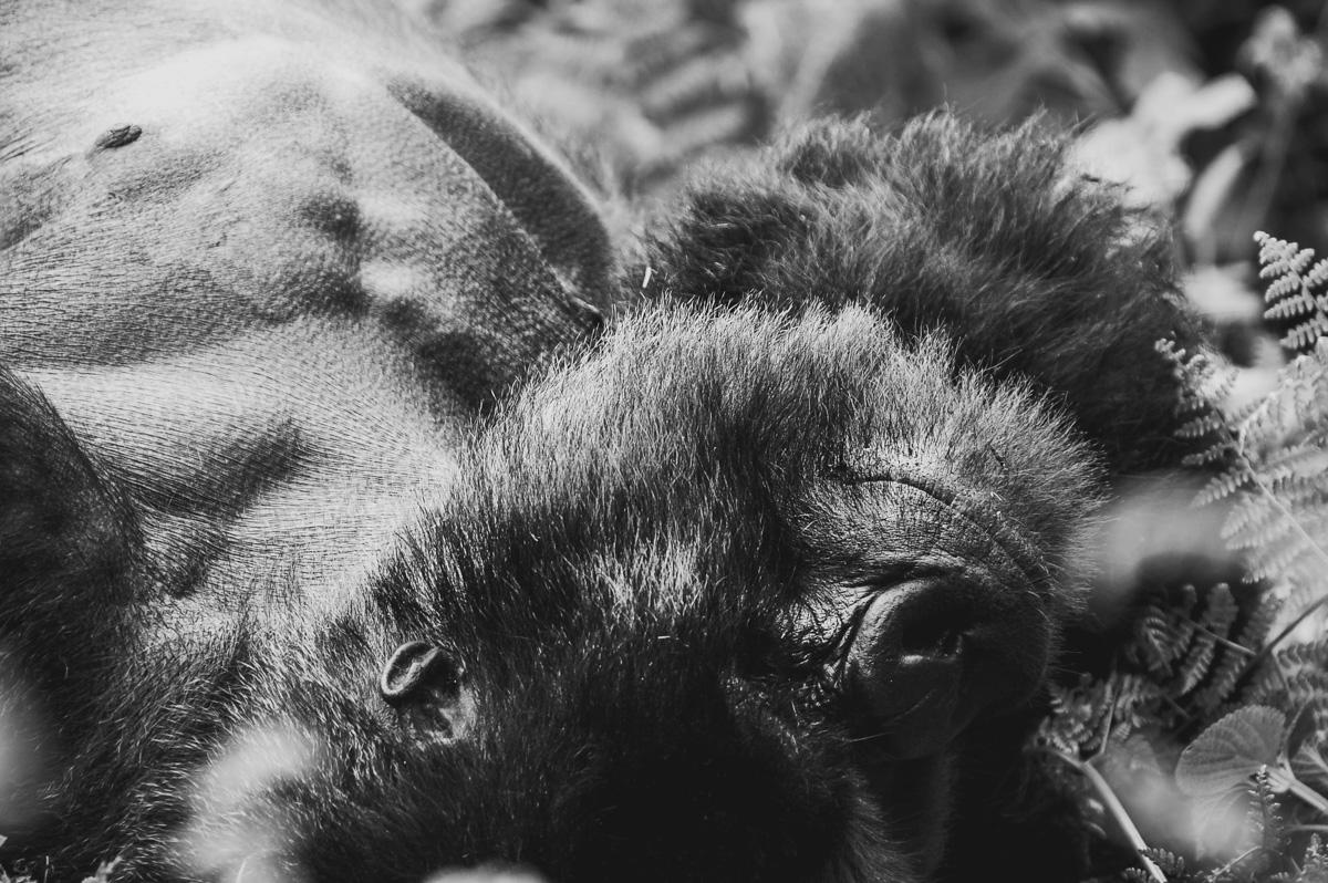 Berggorilla in Rwanda